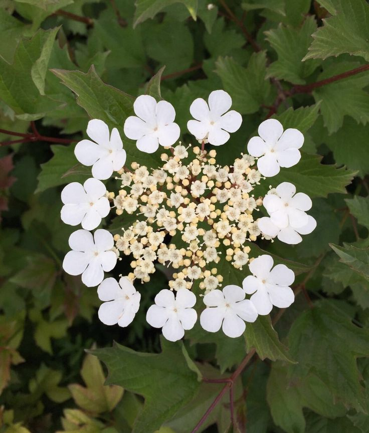 45 best piante fiorite flowers images on pinterest - Piante fiorite ...