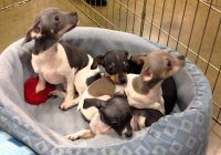 Pitbull Chihuahua Mix Puppies for Sale Lovely Cutest One Month Old Mixed Color American Breed Micro Chihuahua