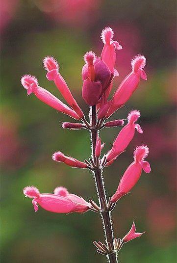 Salvia involucrata 'Bethellii'