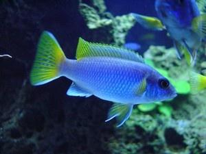 """Pseudotropheus sp. """"Acei"""" ** Malawi Cichlid ** 4-5cm at Aquarist Classifieds"""