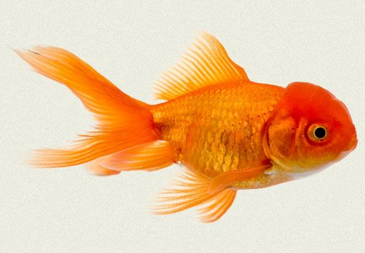 Generally considered a hardy goldfish fantails can be for Hardiest pond fish