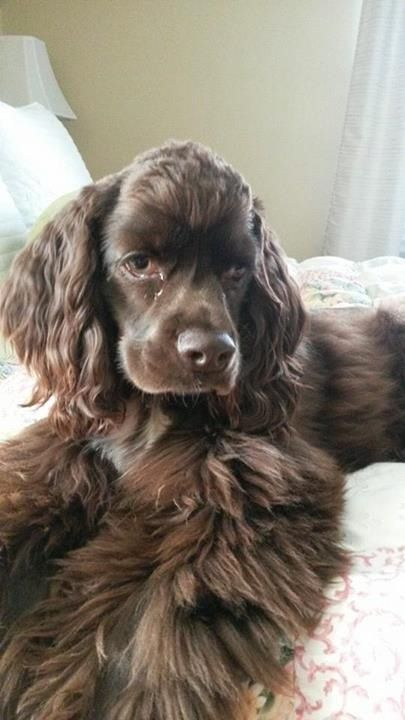 Spreading out for comfort! #dogs #pets #CockerSpaniels…