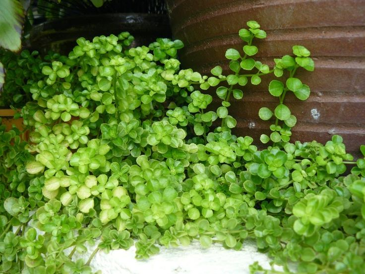 Pilea depressa is a plant native to the caribbean these for Plante pilea