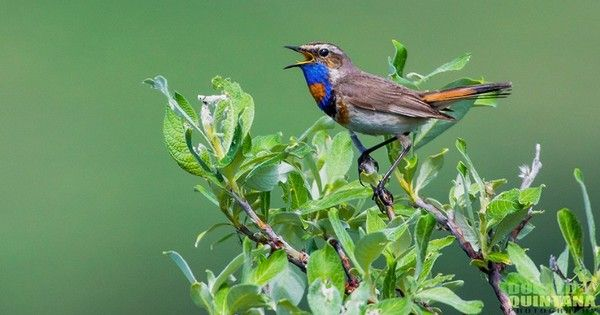 Photo: Bewitching bluethroat sings in Alaska https://link.crwd.fr/1Q2v