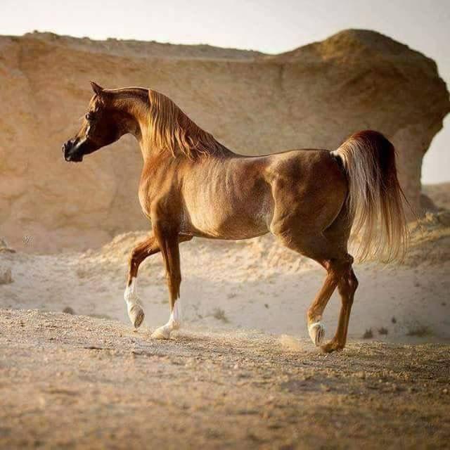 Lovely Desert Bred Chestnut Arabian