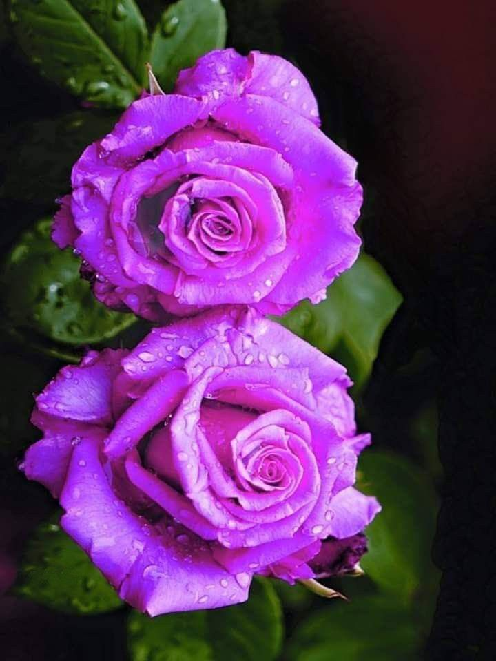 Epingle Par Lalou Loutte Sur Rose Mon Amour Images Amour Fleurs