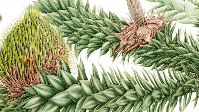 Video trailer for an exhibition at the Royal Botanic Garden Edinburgh, showcasing original botanical paintings by Gülnur Ekşi, Işık Güner and Hülya Korkmaz, produced for a unique illustrated publication 'Plants from the Woods and Forests of Chile'. Watch the full exhibition film (7 mins) here: https://vimeo.com/141756293 Information about the book: http://chileanplants.rbge.org.uk/en/ and the exhibition: http://www.rbge.org.uk/whats-on/event-details/4016 (Oct 2015 - March 2016) Additi...