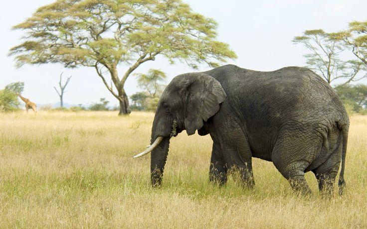 Słoń, Drzewa, Trawa