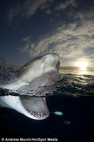 """""""This is the dramatic moment a diver in the Bahamas had a very close encounter with a fearsome lemon shark. The 2.5 metre long fish is shown baring a menacing set of teeth as it breaks the surface at Tiger Beach during sunrise. Photographer Andrew Murch captured the shots during an eventful dive when the lemon sharks suddenly appeared within millimeters of his camera."""""""