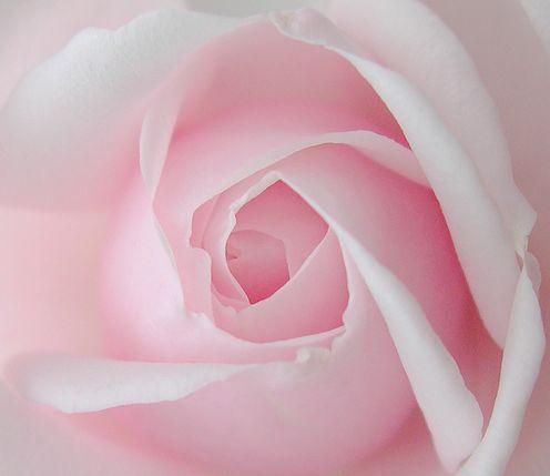 Pale Pink Rose    My Pink Cloud