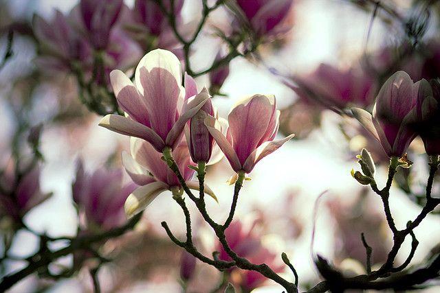 #Magnolia #top15 #March #Flowers #marzo #magnolia #pink #rosa #field #magnoliafield #spring #primavera #white #bianco
