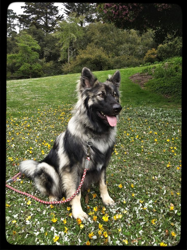American Alsatian. I must have this dog