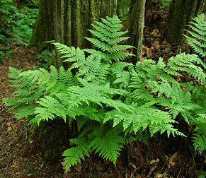 Athyrium felix-femina - Lady Fern - found in wet forest, swamps, streambanks, often with Devil's Club + Skunk Cabbage