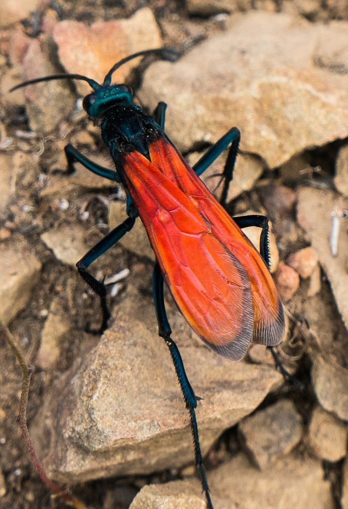 A tarantula hawk is a spider wasp which hunts tarantulas as food for its larvae.