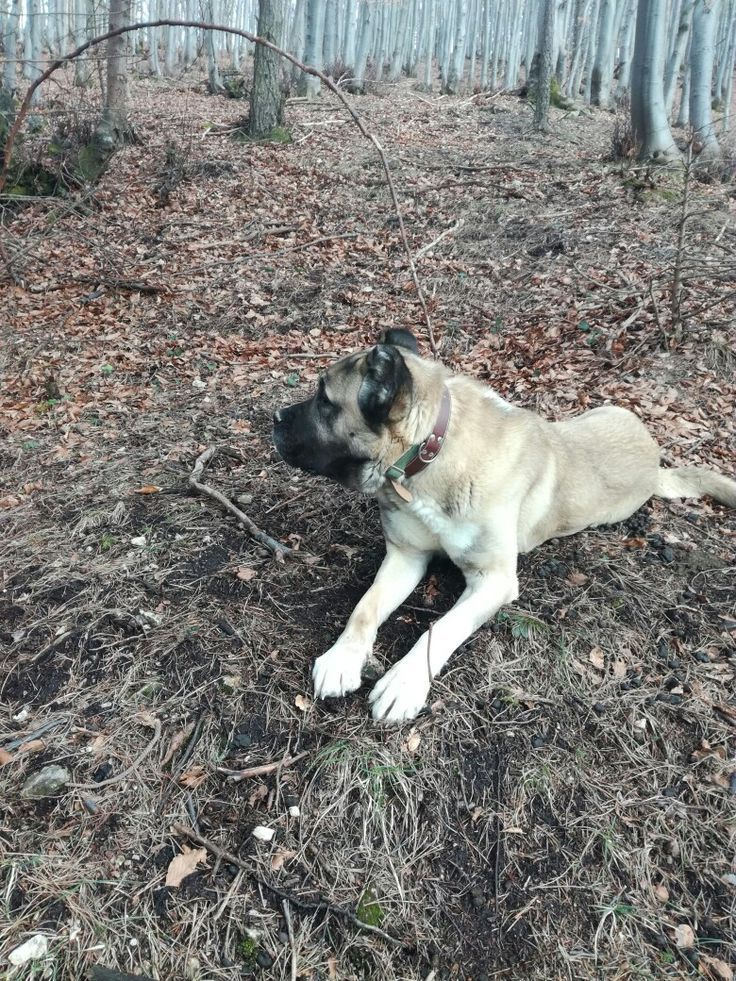 Pin na nástenke kangal malakli dog turkey