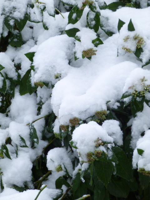 arbuste neige