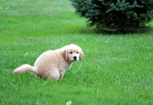 Potty Training Puppies - #GoldenRetrievers #Puppies for Sale!