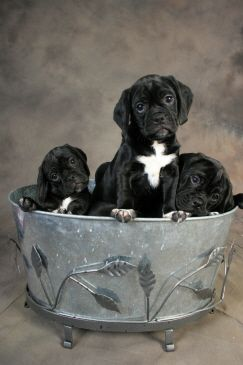 Black Puggles, they look just like our puggle Willa....