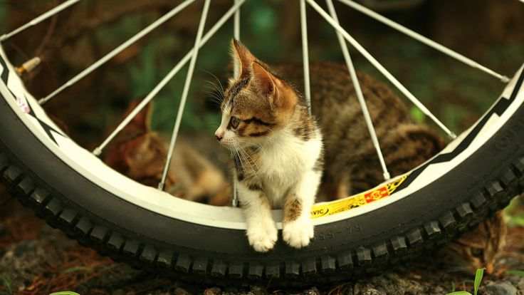 bicycle, ride, with cat, hd image