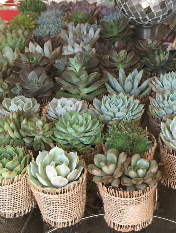 Succulent Rosette Collection. 20 Premium Assorted Succulents in 2.5 pots Wrapped in Burlap - La Fleur Succulente Please select with or without tag * If you want tag please message Info with order Perfect for Weddings, Favors, Centerpieces and more... Succulent plants are among the hardiest, most drought-tolerant in othe world and very easy to maintain. We specialize in collections. Our Assorted Collection is a beautiful assortment of 20 2.5 premium varieties wrapped in burlap with twine b...