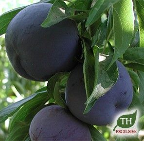 how to grow a black plum tree from a pit