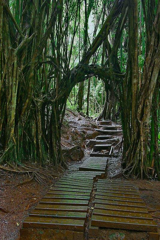 Manoa Falls Trail ~ the tangling trees create an entryway on the trail to Manoa Falls. Make sure to wear shoes and be prepared to get muddy! The falls are at the mauka end of Manoa Valley, about 20 min drive from Waikiki.    Need to check this one out!