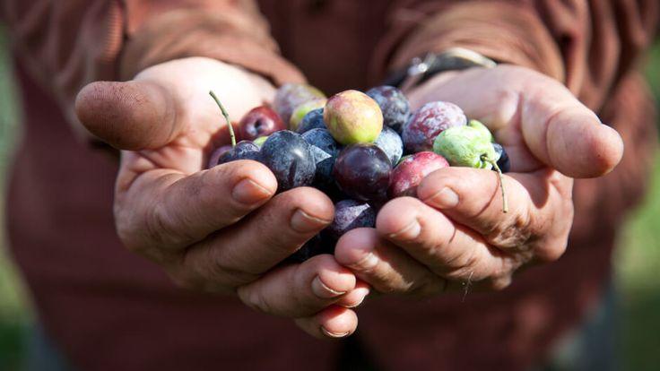 Pelasgaea | Extra Virgin Olive Oil Anthia New Harvest
