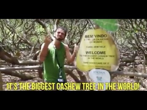 CAJUEIRO DE PIRANG IS THE WORLD'S LARGEST CASHEW TREE