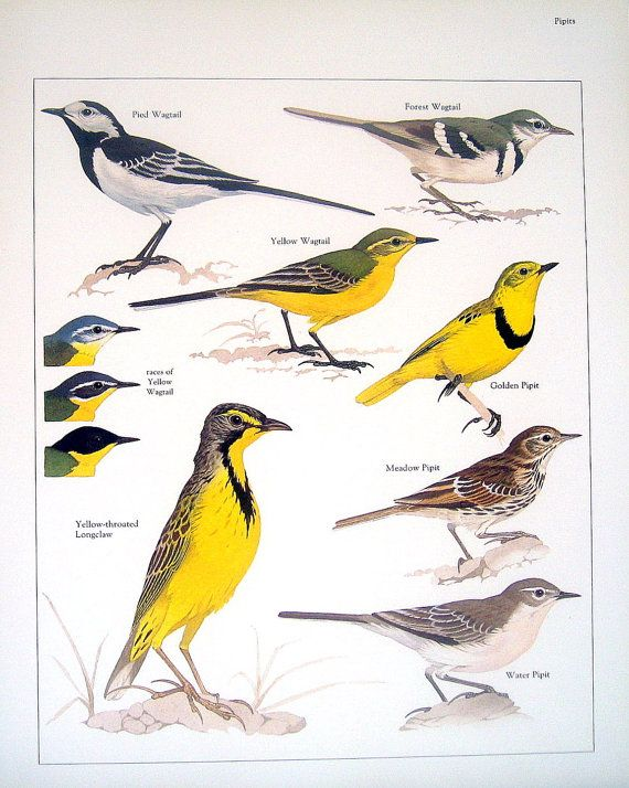 Rescued from a much loved and read reference book on animals is this vintage 1984 book plate featuring the following birds: Pied Wagtail,