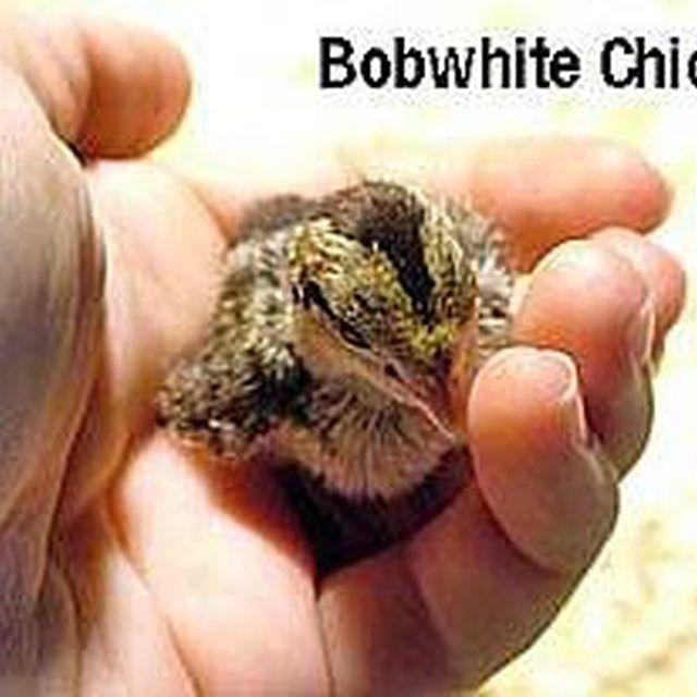 Taking Care of Bobwhite Quail Chicks