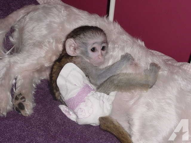 Lovely hand raised baby Capuchin Monkeys available for Sale in Los Angeles, California Classified | AmericanListed.com