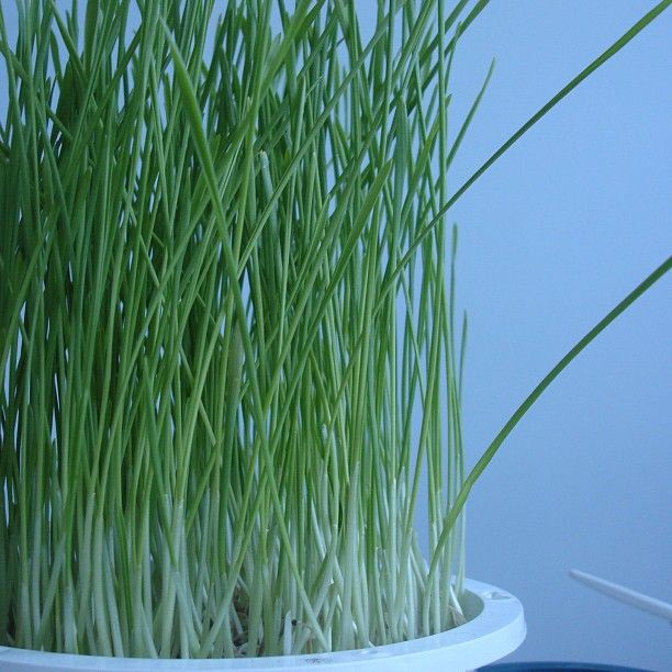"""22 Likes, 1 Comments - Margaret Lee R.Ac B.Sc RHN (@nutriacure) on Instagram: """"#Wheatgrass juice: - cleanses, #detox - high in #chlorophyll  #clean #cleaneating #eatclean…"""""""