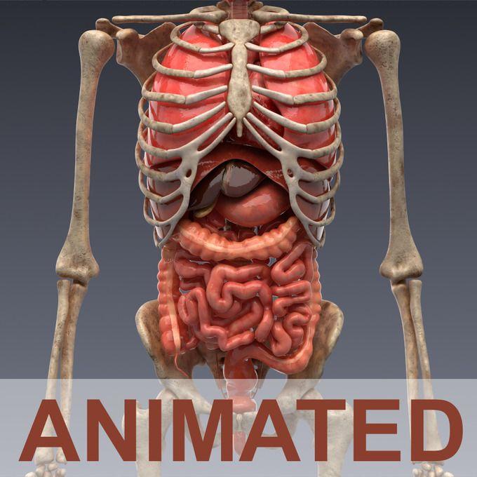 Animated internal organs, skeleton by konstantin.ermolaev on @creativemarket