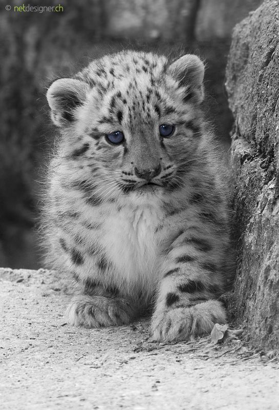219 best Snow Leopards... Beautiful!! images on Pinterest ...