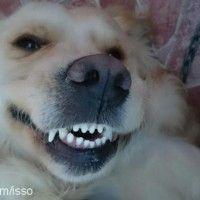 Golden retriever cinsi köpekler hakkında detaylı bilgi