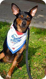 San Diego, CA - Australian Kelpie/Doberman Pinscher Mix. Meet Sophia a Puppy for Adoption.