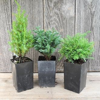 I Love This Set Of Miniature Garden Trees: Miniature Juniper, Blue Moon U0026  Cumulus Cypress   They Are All BLUE!