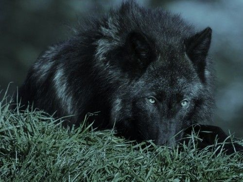 Saw a wolf while camping that looked just like this one