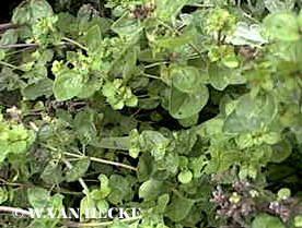 oregano kruiden kruid keukenkruid tuinkruiden wilde marjolein recept keukenkruid oregano