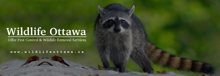 Wildlife Ottawa is your local #pest #control & #wildlife #removal #company. Which provides cost-effective pest control solutions, whether it is a #raccoon, #squirrel, #possum, #bat, #skunk, etc. Contact us now & get pest free home & business.
