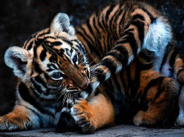 Panorama: Fotos: In El Salvador gibt es Königstiger-Nachwuchs - Fotogalerien - badische-zeitung.de