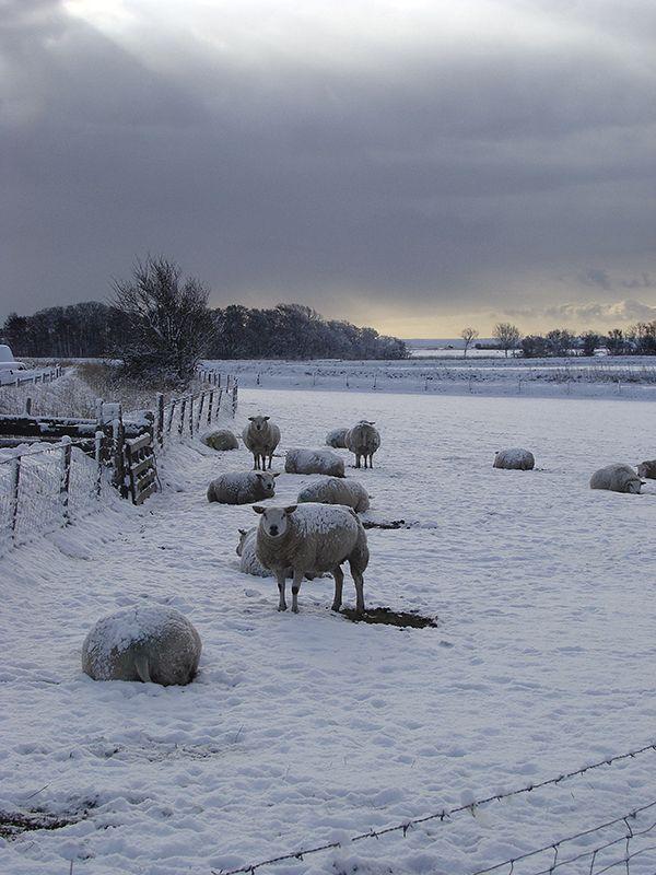 Texel daily image - Texel sheep © Marlon Paul Bruin