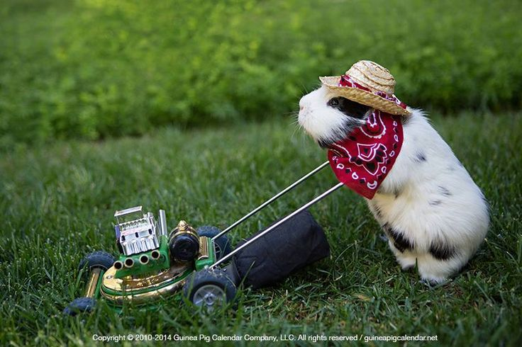 I'm getting knackered, this Lawn is taking me forever to cut!; - Guinea Pig mowing his Owner's Lawn