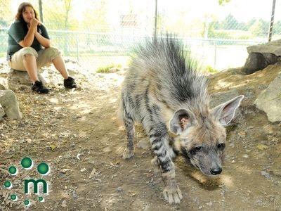 Rare striped hyenas arrive at Jungle Cat World Wildlife Park