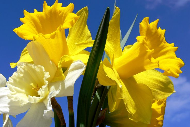 Daffodils Flowers HD Wallpapers & Beautiful HQ Pictures
