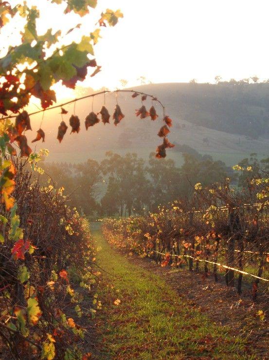 Yarra Valley Vineyard, Australia
