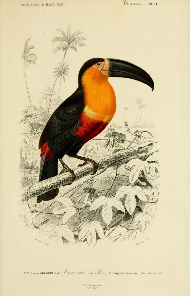 gravures couleur d'oiseaux - Gravure oiseau 0247 toucan de para - ramphastos maximus - grimpeur - Gravures, illustrations, dessins, images
