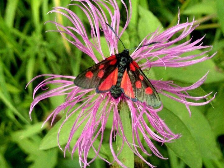 Cyanus montanus