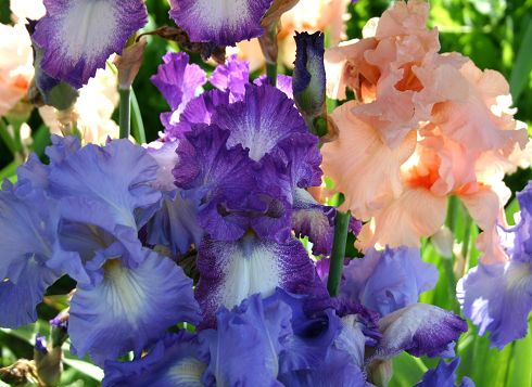 World of Irises: MUMFORD TALL BEARDED IRIS GARDEN - A LOVE AFFAIR