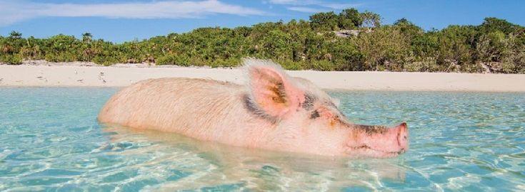 豚が海を泳いでいる豚だらけの孤島に行ってみよう / バハマで豚に癒やされる